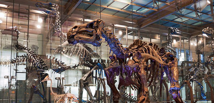 Les squelettes des iguanodons de Bernissart au Museum des Sciences Naturelles de Belgique