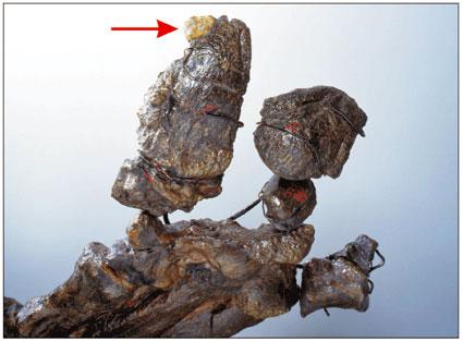 Pyrite sur une griffe d'iguanodon